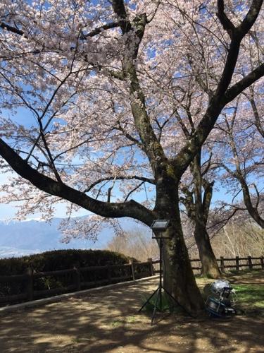 里山の桜800