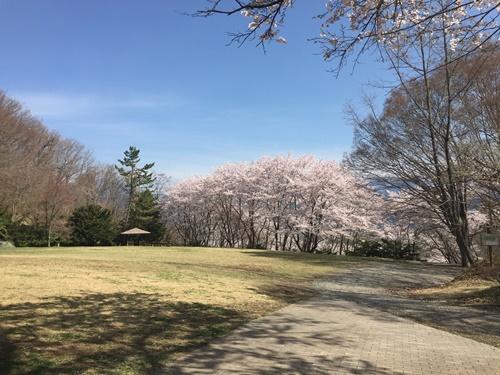 里山の桜11