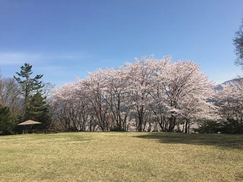 里山の桜13