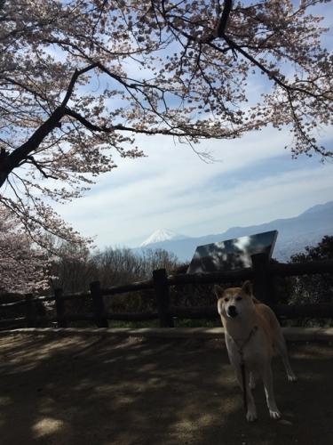 里山の桜19