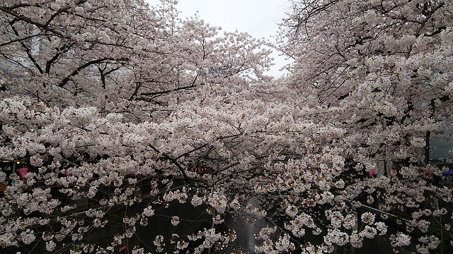 10411桜2
