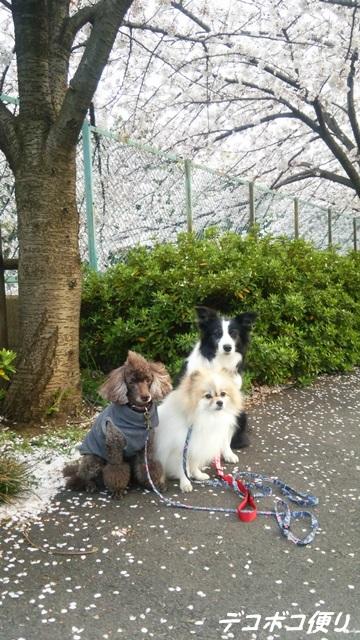 20160409 桜3