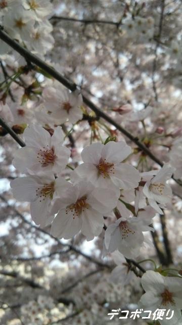 20160409 桜5