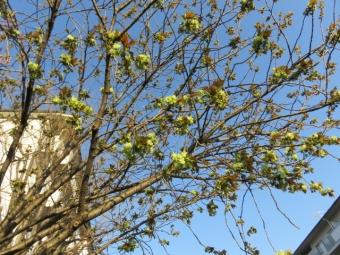緑の桜 001
