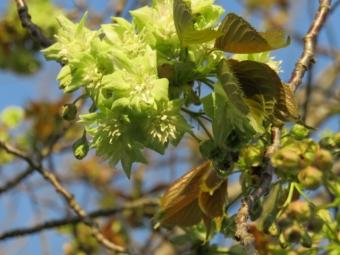 緑の桜 002