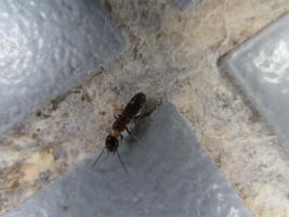ヤマトシロアリ落翅虫