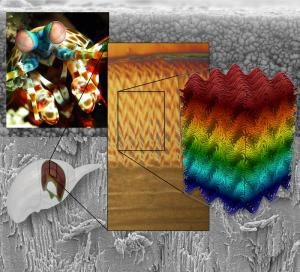 mantis shrimp outer layer