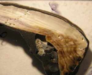 Cross section of Mytilus californianus shell