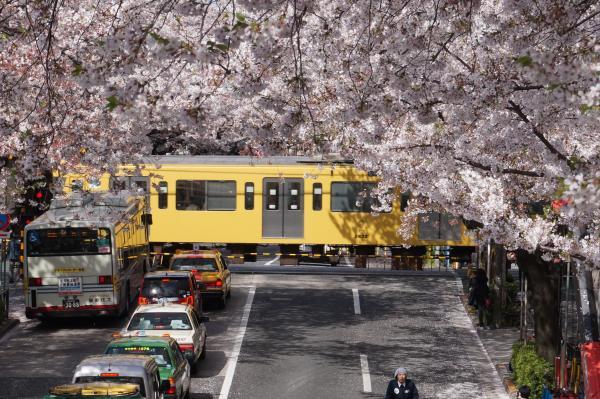 2016-04-06 中野通り 桜2