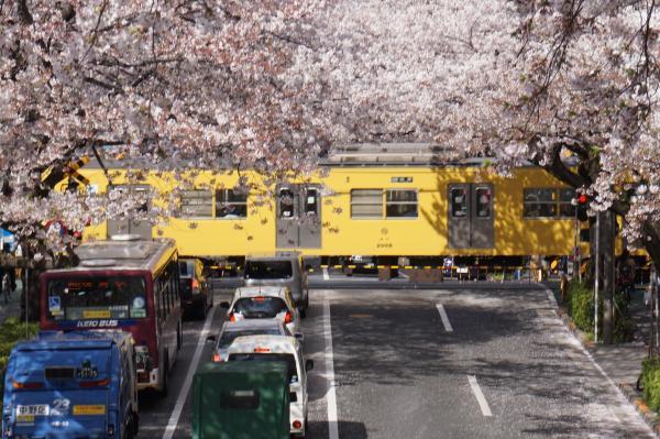 2016-04-06 中野通り 桜4