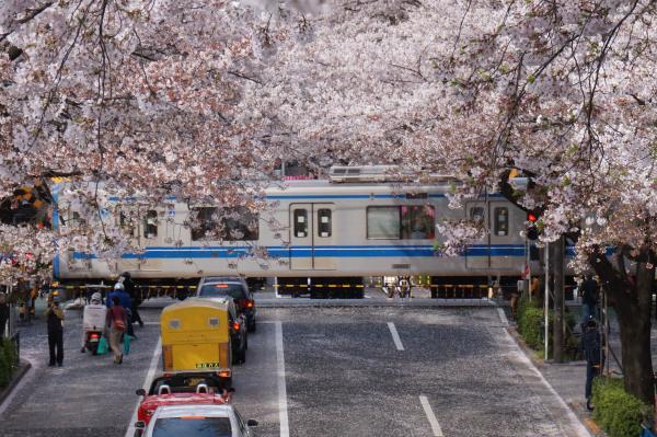 2016-04-06 中野通り 桜8