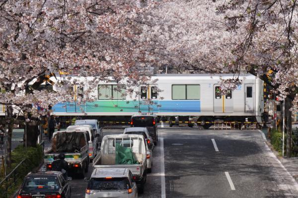 2016-04-06 中野通り 桜10