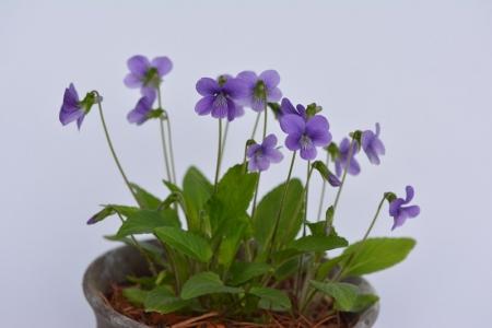 カスガスミレ(うす紫)