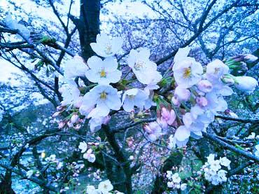 2016黒磯公園桜