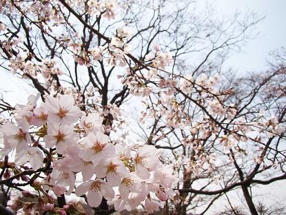 愛宕山桜2