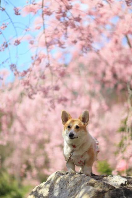 枝垂れ桜の下で、また真顔ー