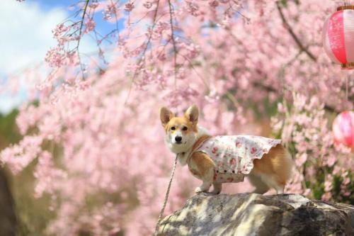 枝垂れ桜の下で、またまた真顔ー