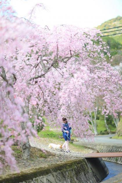 しだれ桜の下、てくてく