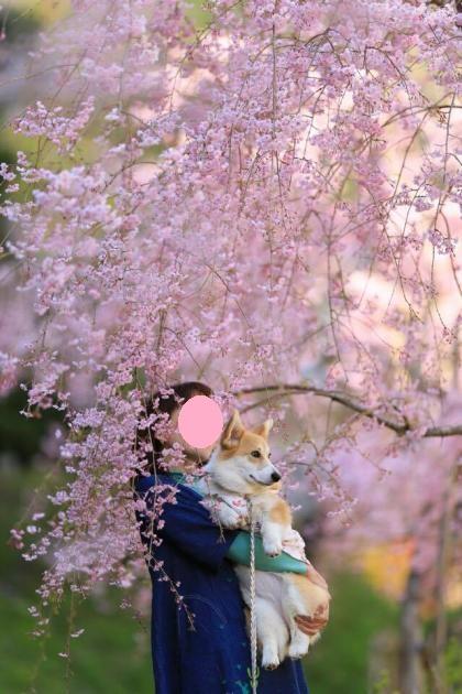 しだれ桜の下、抱っこ
