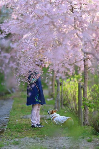 しだれ桜の下、桜いる?