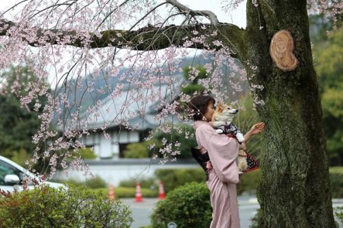 京都のしだれ桜 節ちゃんと