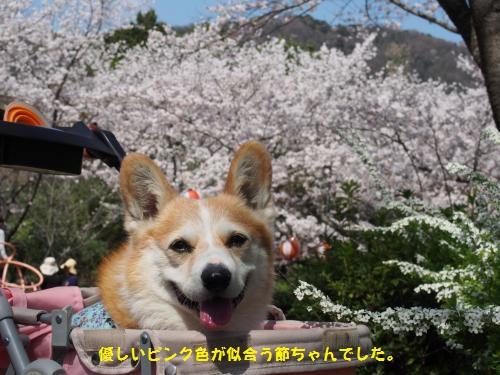 桜と節ちゃん2