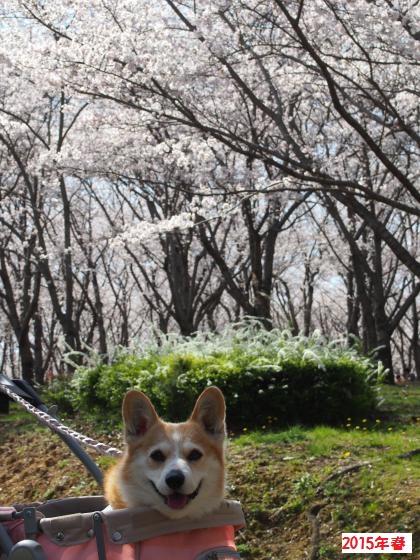 桜と節ちゃん3
