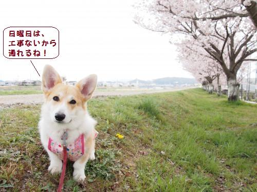 どての桜さいた