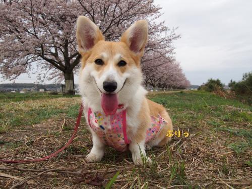 たくちゃんのほうの桜と