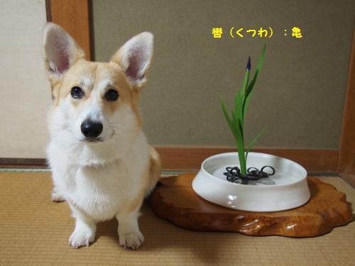 カキツバタ 轡 亀 一花十一葉