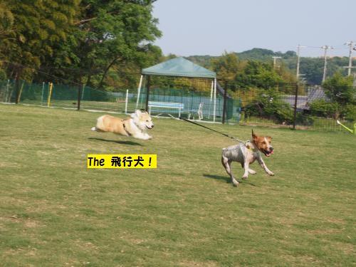 飛行犬な芹ちゃん