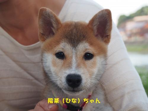 柴犬ひなちゃん