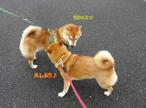 5柴犬男子