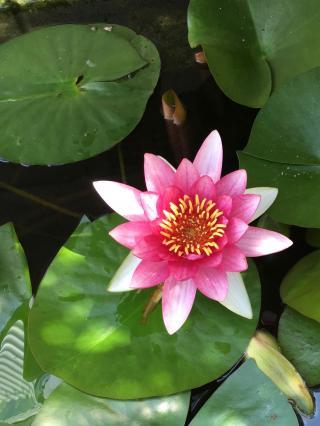 至道工業のメダカの住む池に咲く蓮の花