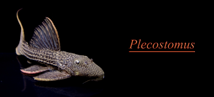 Plecostomus.jpg