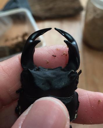 肝川産四角短歯2015羽化顎