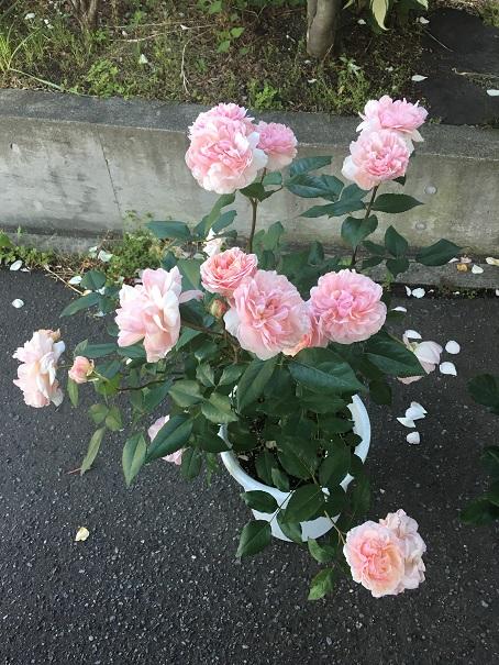 ピンクグルースアンアーヘン_2016070104