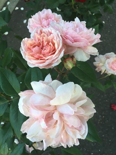 ピンクグルースアンアーヘン_2016070102