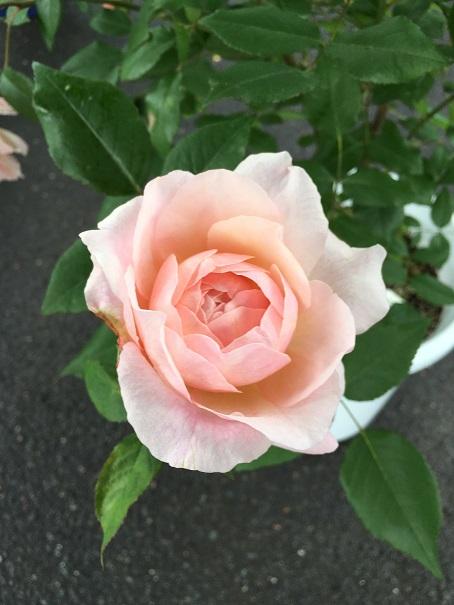 ピンクグルースアンアーヘン_2016062601