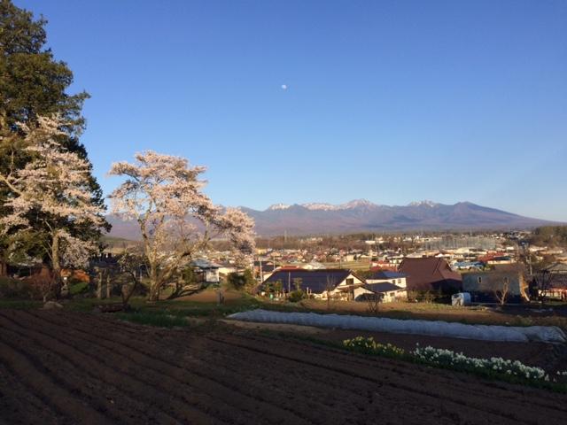 大桜2016041901