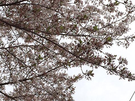 気付いたら桜が散ってました…