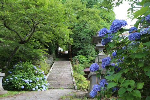 金櫻神社  アジサイ (1)