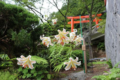 金櫻神社 ヤマユリ (3)