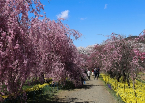 眞原桜並木1