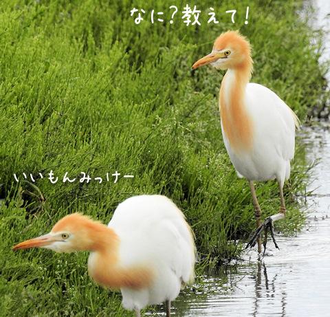 2016617amasagi4.jpg