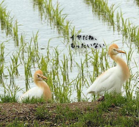 2016617amasagi5.jpg