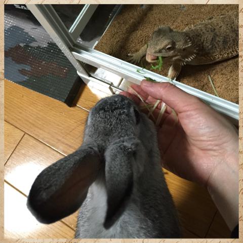 ウサギ×トカゲ
