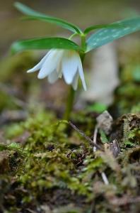 白い花のイズモコバイモ