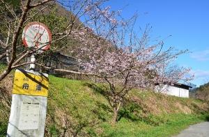綺麗に咲いていた河津桜