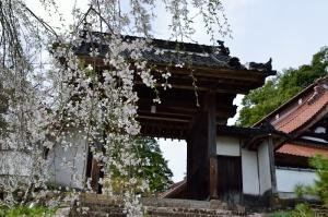 鳳源寺山門の桜